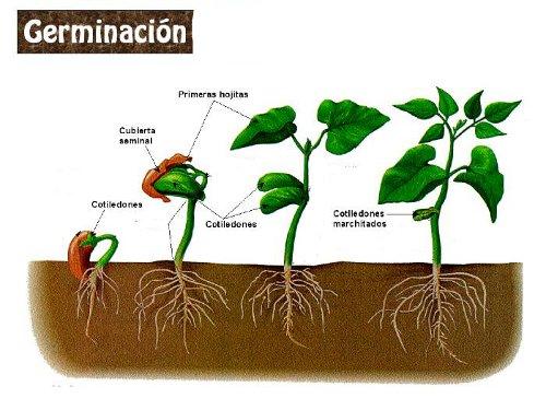 LAREPRODUCCIÓN DE LAS PLANTAS Angiospermas.