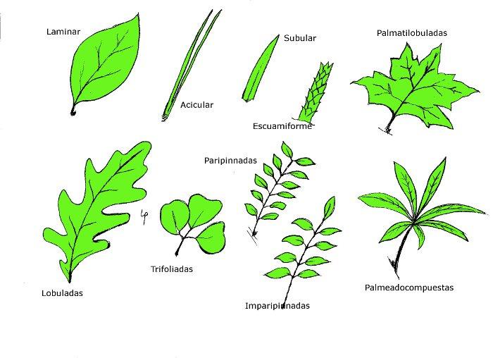 Clases de hojas de plantas  Imagui